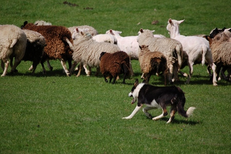 Sheepdog training at Greenlands Farm Park