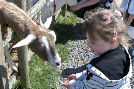 Feeding the goats at Umberslade Farm Park, Warwickshire