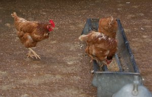 Coventry City Farm, Hens