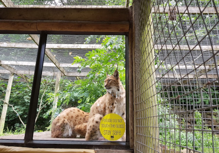Dudley Zoo Lynx with Coronavirus stay safe message