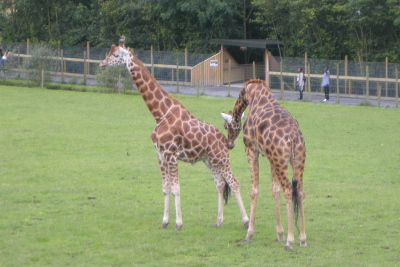 Giraffe zoo animals at Folly Farm in Wales