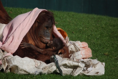 Mother and baby orang-utan at Twycross Zoo